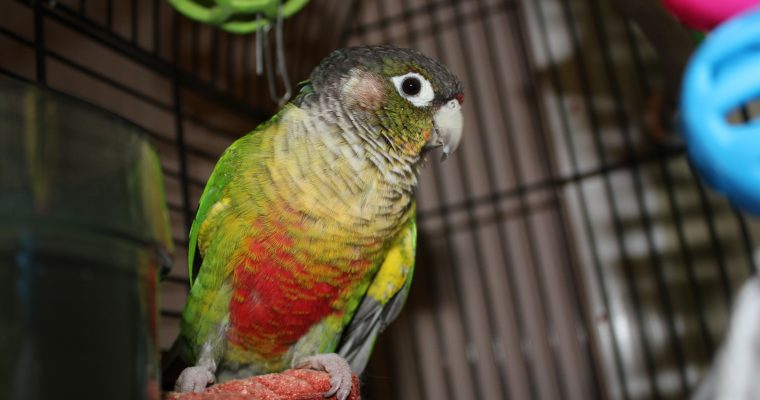 Training our Conure to Wear an Aviator Harness