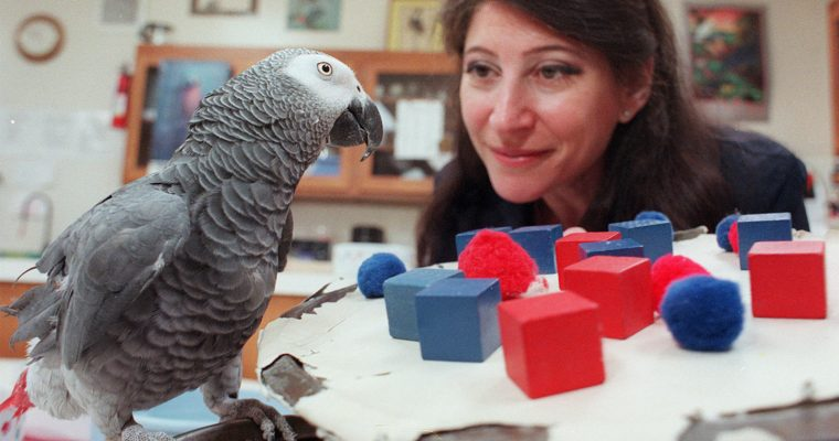 Dr. Pepperberg Speaks at WSU on Parrot Cognition