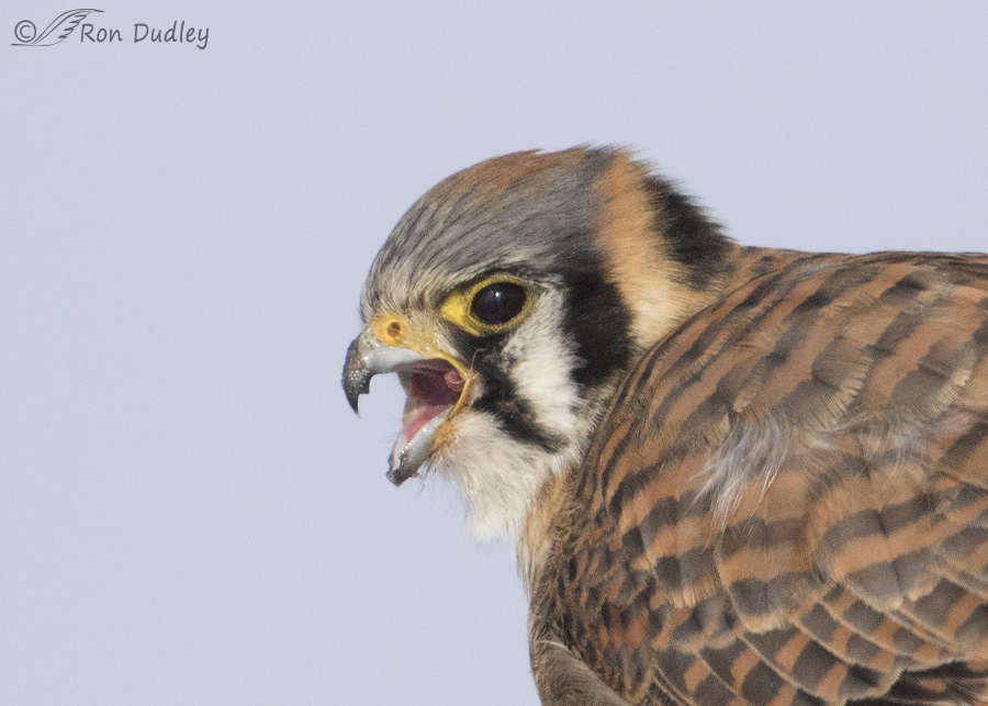 Falcons and parrots related taxonomically