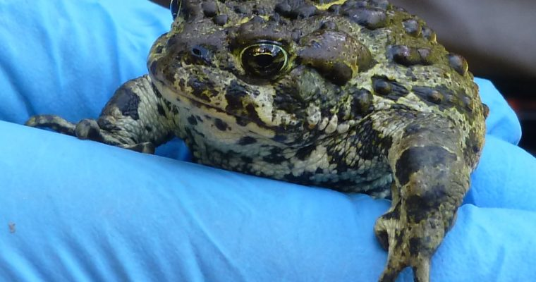 Herps of the Issy Alps Part I: Amphibians
