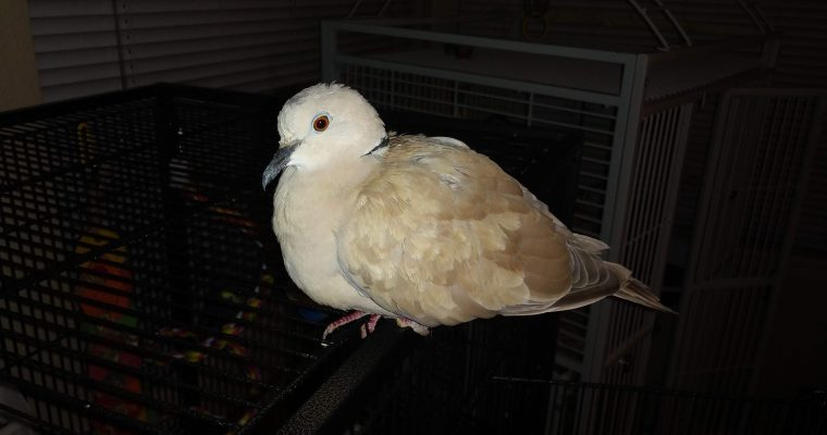 The Resilience of Cooper the Ring-necked Dove