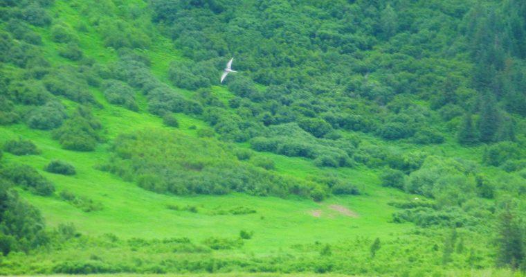 Arctic Terns: Greatest Endurance Athletes on Earth